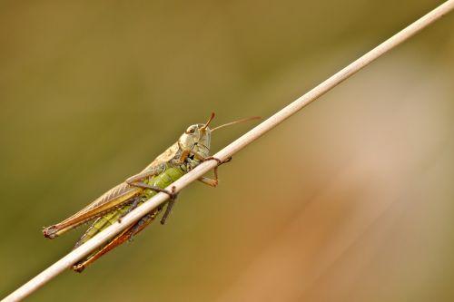desert locust insect macro