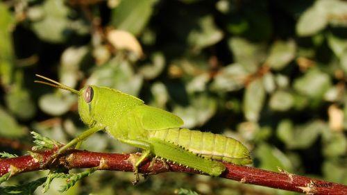 desert locust grasshopper macro
