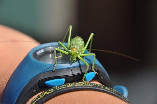 desert locust  watch  summer
