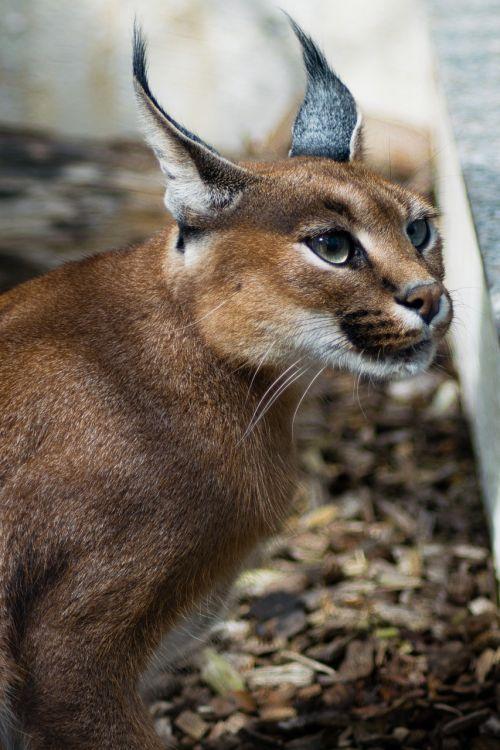 desert lynx karakal caracal caracal