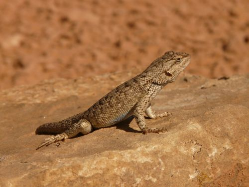 desert spiny iguana spiny iguana iguana