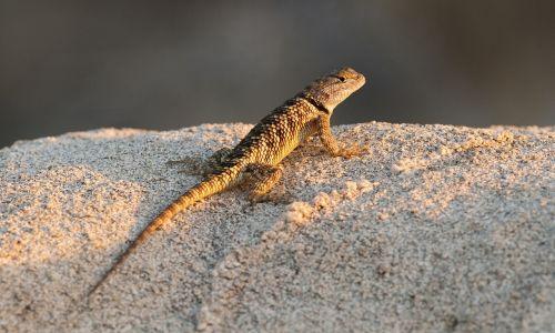 desert spiny lizard reptile wildlife
