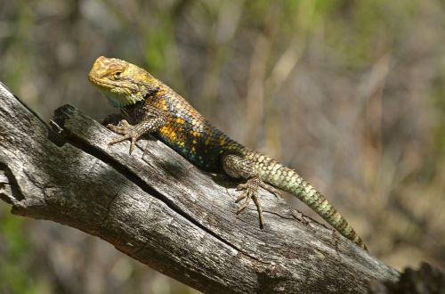 desert spiny lizard reptile wood