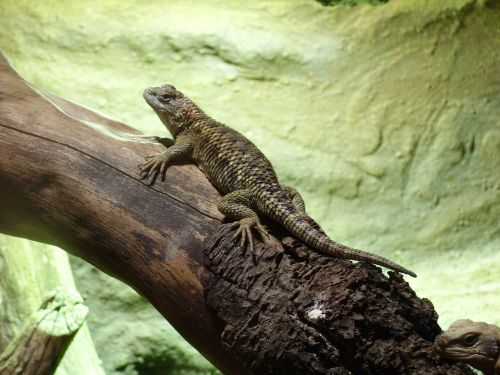 desert spiny lizard sceloporus magister reptile