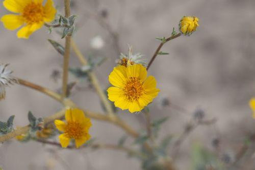 desert sunflower geraea canescens mojave
