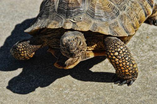 desert tortoise 36 inch rescue tortoise