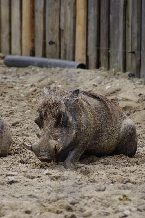 desert warthog pig animal