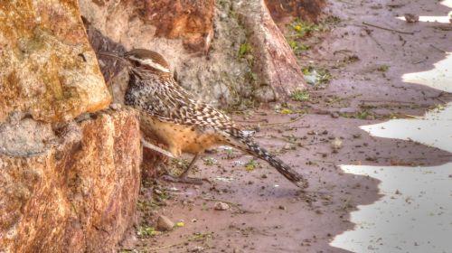 Desert Woodpecker