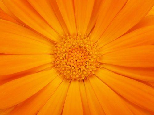 išsamiai, žiedlapiai, fonas, tekstūra, kalendra, oranžinė spalva, gėlė, augalas, spalva, gamta, be honoraro mokesčio