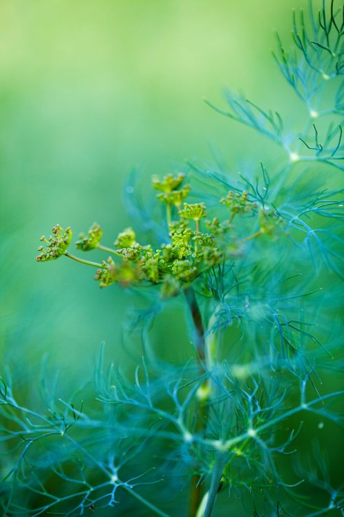 Detail Of Dill