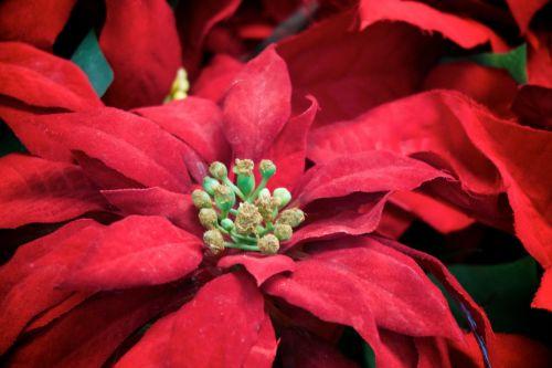 Kalėdos, dekoruoti, apdaila, gėlė, atostogų & nbsp, sezonas, atostogos, augalas, Poinsettia, raudona, sezonas, žiema, poinsetijos detalė
