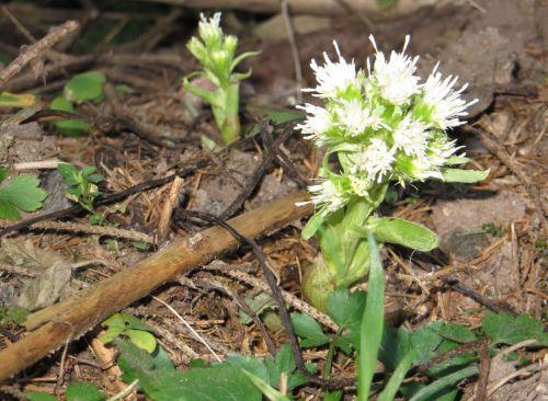 pavasaris, gėlė, butterbur, balta butterbur