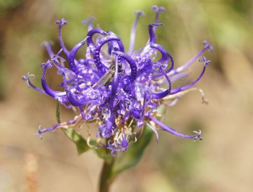 devil's claw alpine flower flower