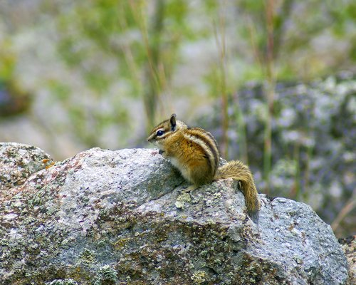 devils tower wyoming chipmunk  animal  rodent