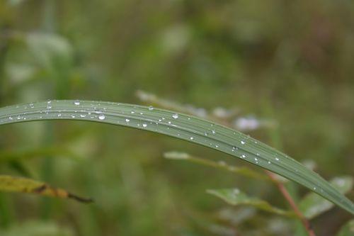 dew reed waterdrop
