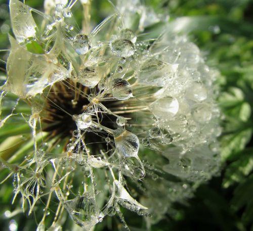 dew drops on flower dewdrop wassertrofpen