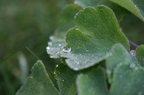 dewdrop leaf plant
