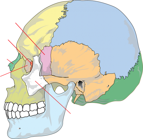 diagram skull education