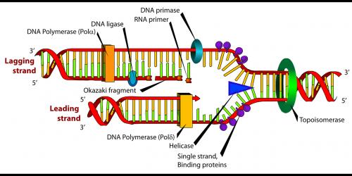 diagram dna biology