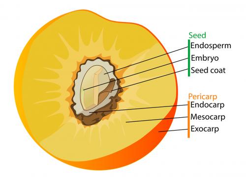diagram fruit labelled