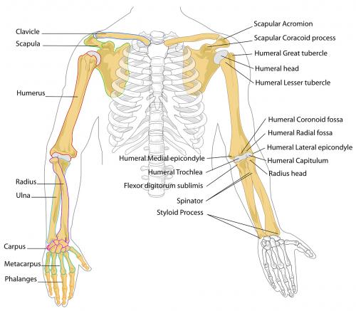 diagram human bones