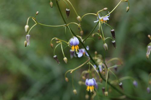 dianella tasmanica asphodelaceae