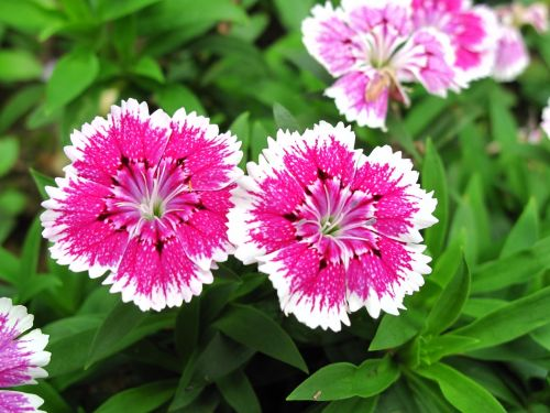 dianthus two pink