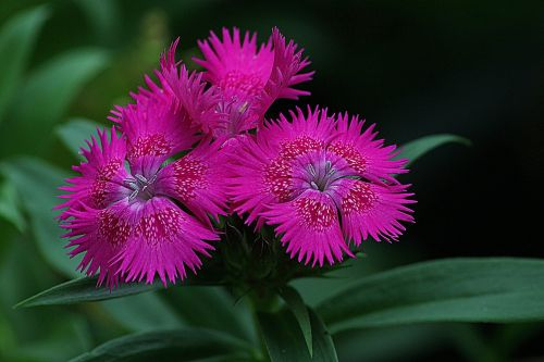 dianthus flowering plant blossom
