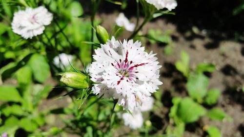 dianthus,carnation,sweet william,dianthus white,dianthuses,carnations,sweet william flower,dianthus flower,dianthus plant,carnation flower,dianthus perennial,dianthus images,white carnations,white dianthus,perennial dianthus,sweet william dianthus,dianthus carnation,dianthus pictures,carnation plants,white,flower,garden,plant,pink