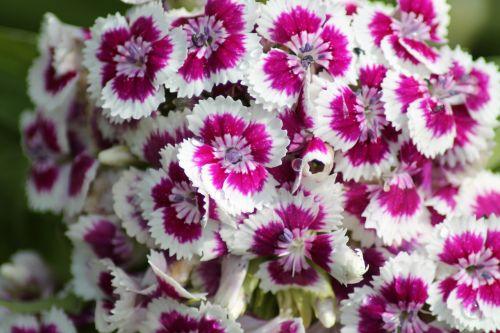 dianthus flower garden