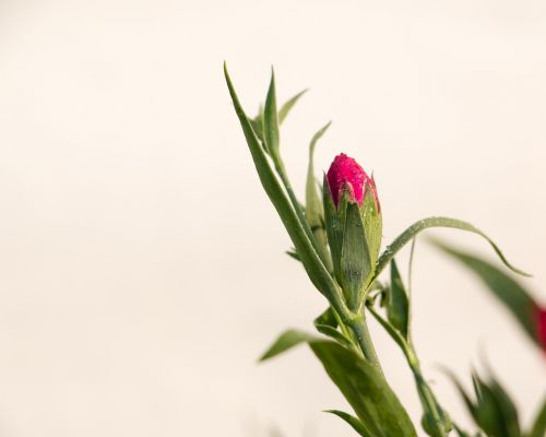 dianthus pink winter flowers