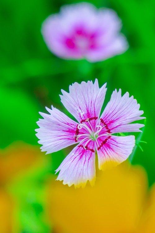 dianthus  flower  plant