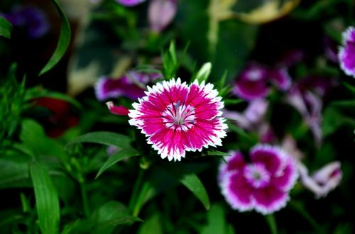dianthus flower blossom