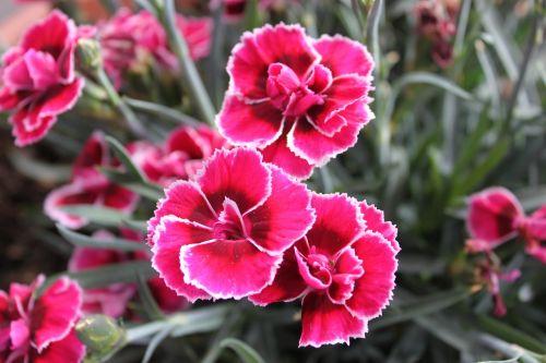 dianthus flower pink