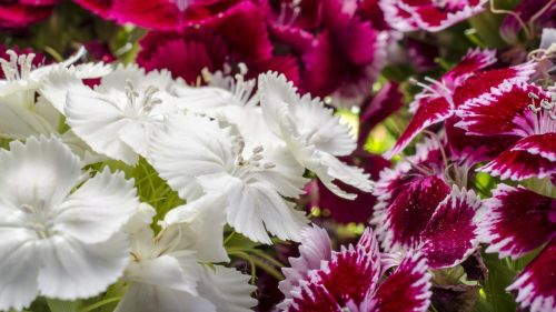 dianthus barbatus ornamental plants pentecost