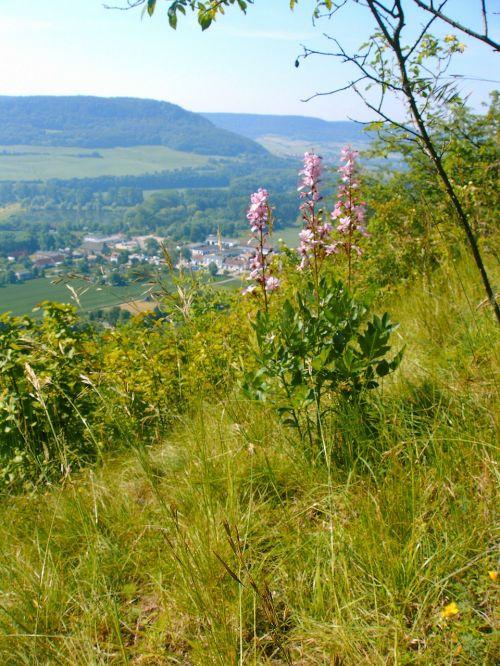 dictamnus wild flower mountainside