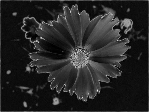 Diffused Black Daisy