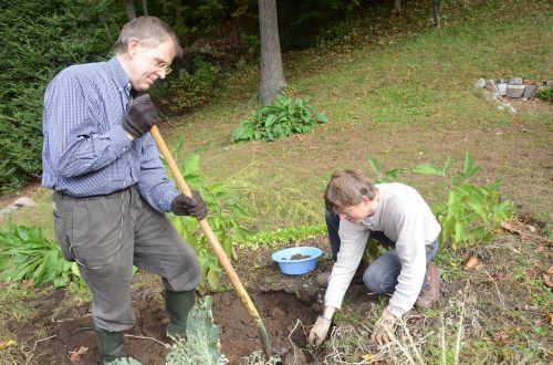 digging potatoes garden