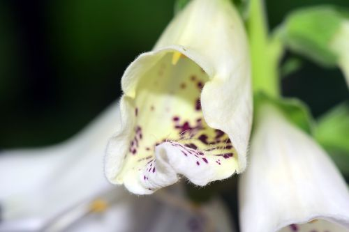 digitalis thimble toxic