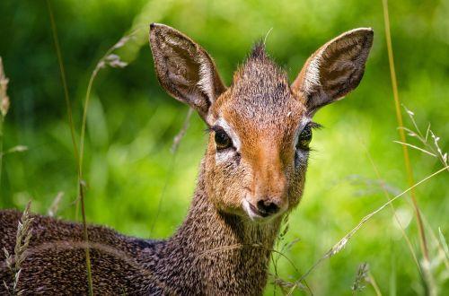 dik dik antelope zoo