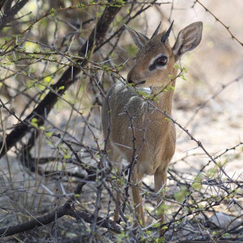 dikdik antelope small