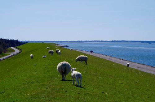 dike north sea sheep