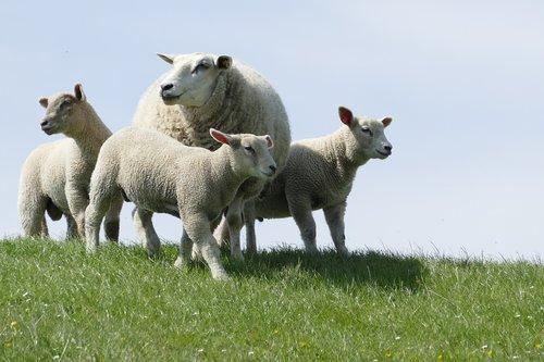 dike  sheep  lambs