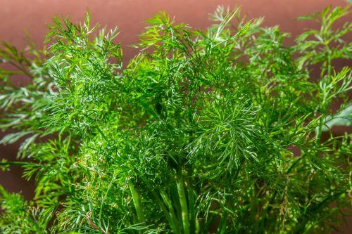 dill herb cucumber herb
