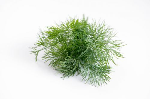 dill spice plant