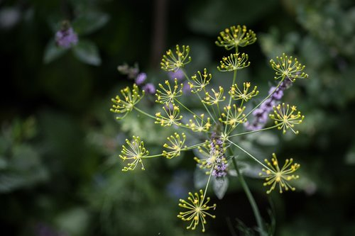 dill  blossom  bloom