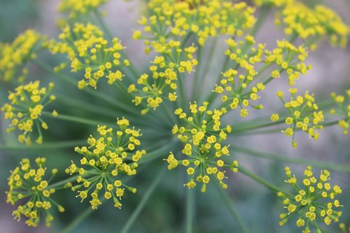 dill  plant  flower