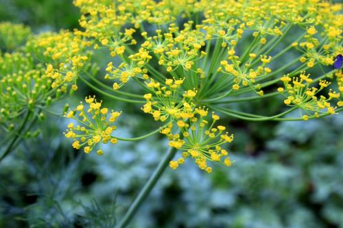 dill flowers anethum