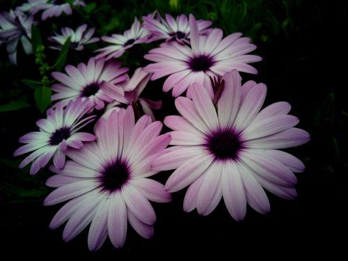dimorfoteca cape daisy flowers