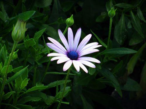 dimorphoteca ecklonis dimoforteca petals